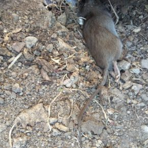 """Ciudadanos alerta del """"peligro para la salud por una grave plaga de ratas"""" en El Porvenir"""